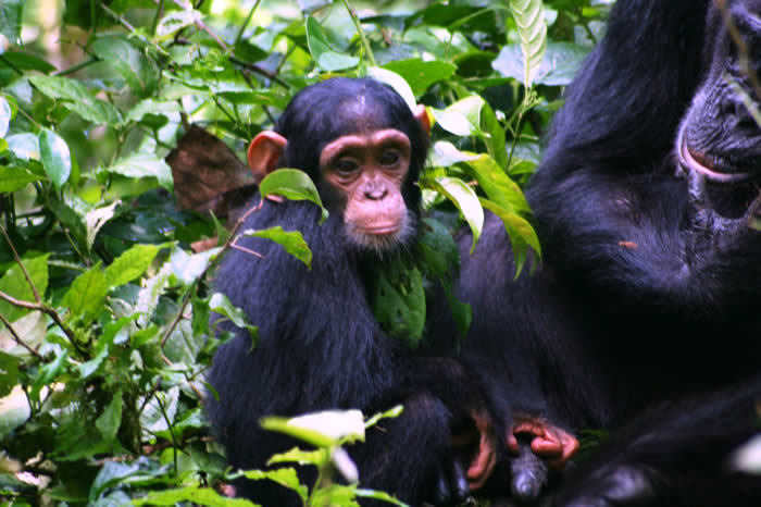 Chimp Tracking