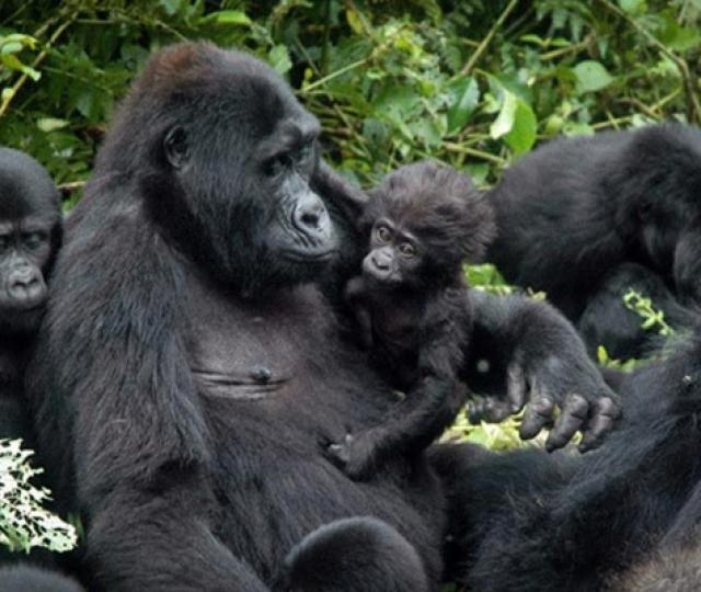 Uganda Gorilla and Golden Monkey Safari
