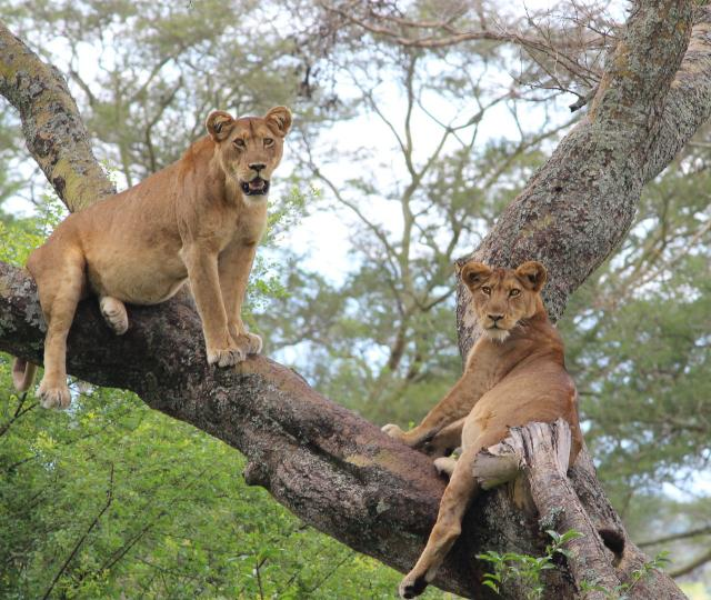 Ishasha Tree Climbing Lions and Chimp Tracking