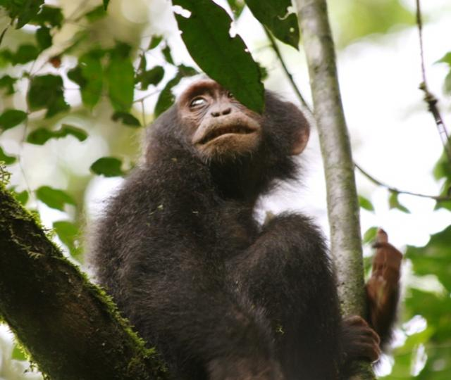Kibale Forest Chimp Tracking and Semuliki National Park Safari