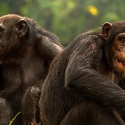 Transfer to Budongo Forest for Chimpanzee Tracking