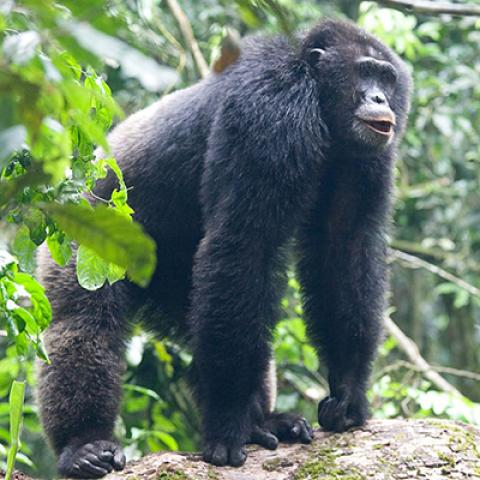 Kibale Forest Chimp Tracking and Bigodi Wetland Sanctuary Walk