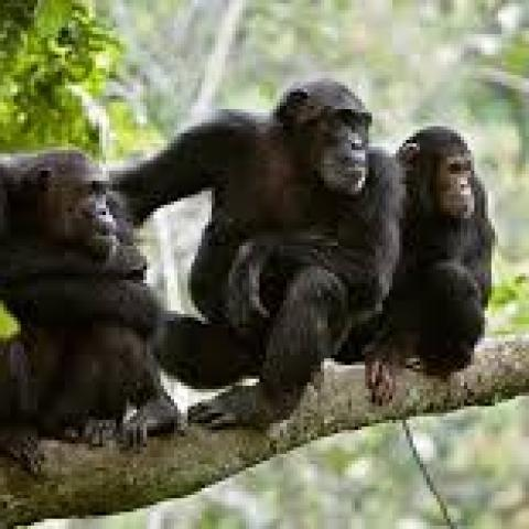 Chimp Tracking in Kalinzu Forest Reserve