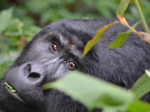 Bwindi Gorilla Trekking and Queen Elizabeth Safari