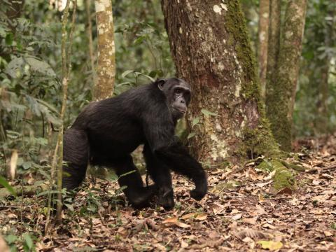 Kibale Forest Chimpanzee Tracking